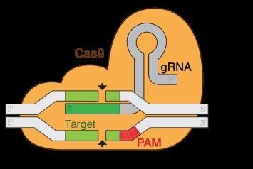 GRNA-Cas9